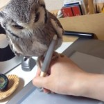 illustrator-northern-white-faced-owl