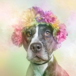flower-power-pit-bulls-dog-adoption-photography-sophie-gamand-11